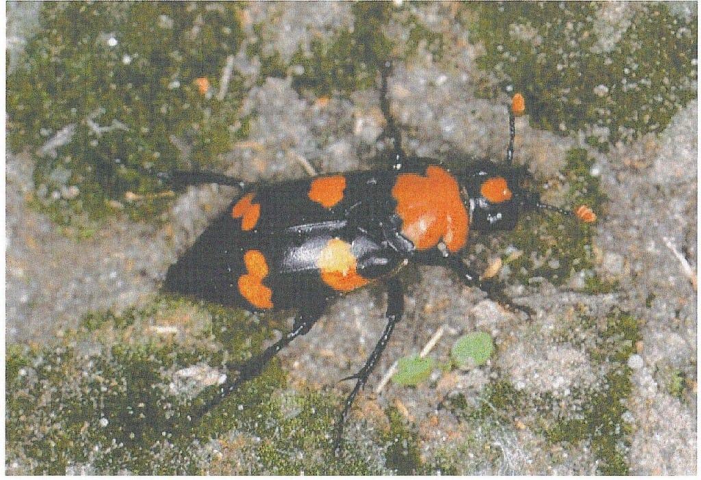 50-1 American Burying Beetle