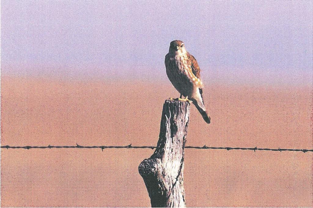 101.1 Prairie Falcon
