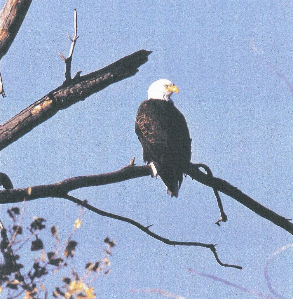 104.2 Bald Eagle